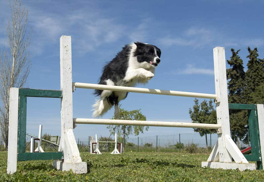 black and white Border Collie jumping hurdles