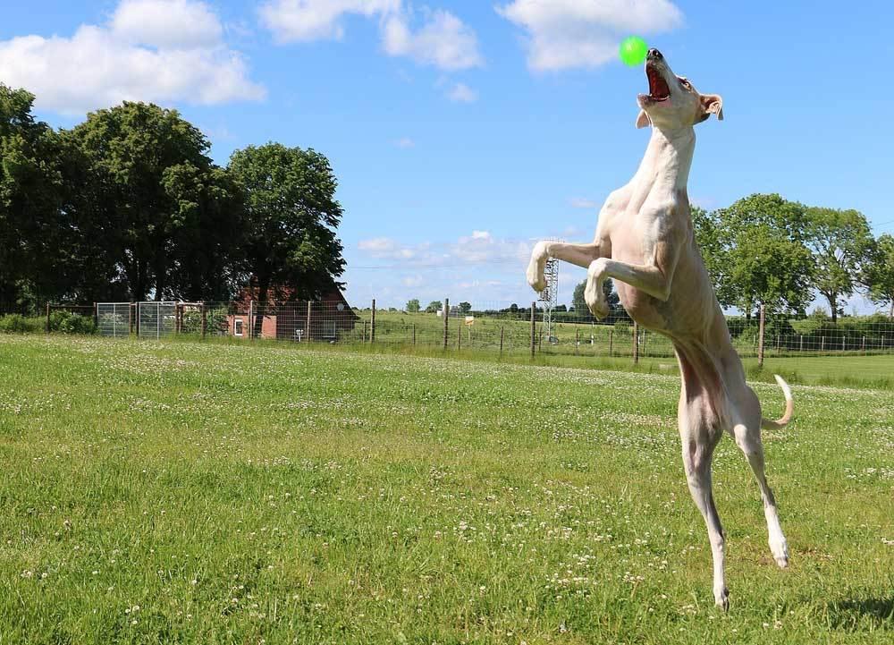 Greyhound jumping strait up to get ball