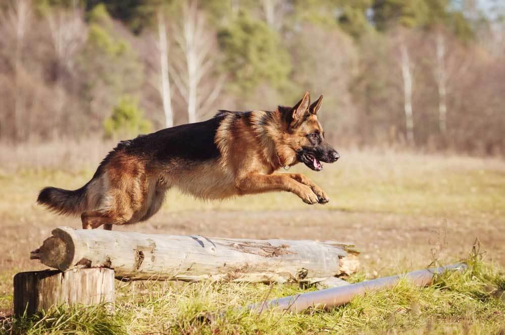 German Shepherd jumping log in field