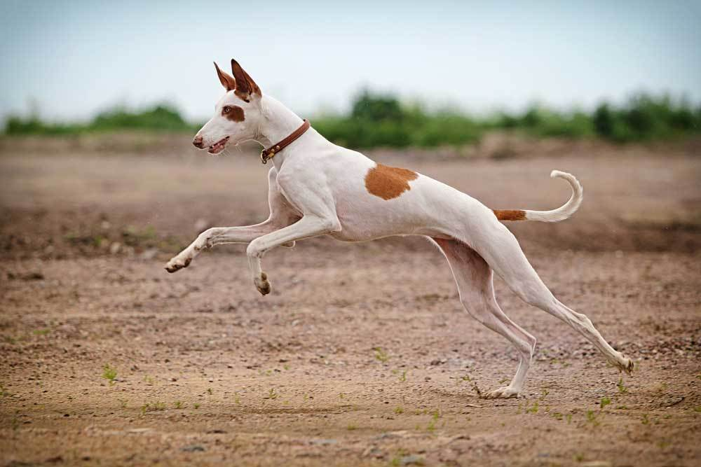 Ibizan Hound jumping in dirt covered area