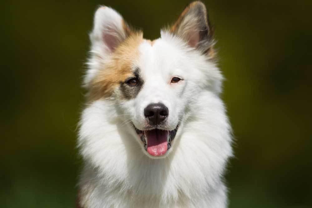Close up of Icelandic Sheepdog