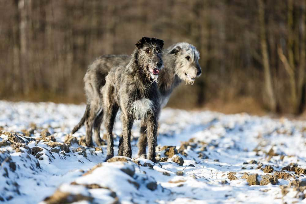 2 Irish Wolfhounds standing in snow