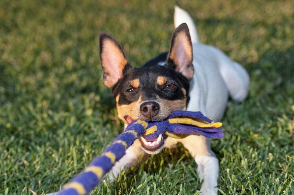Jack Russell Terrier playing tug