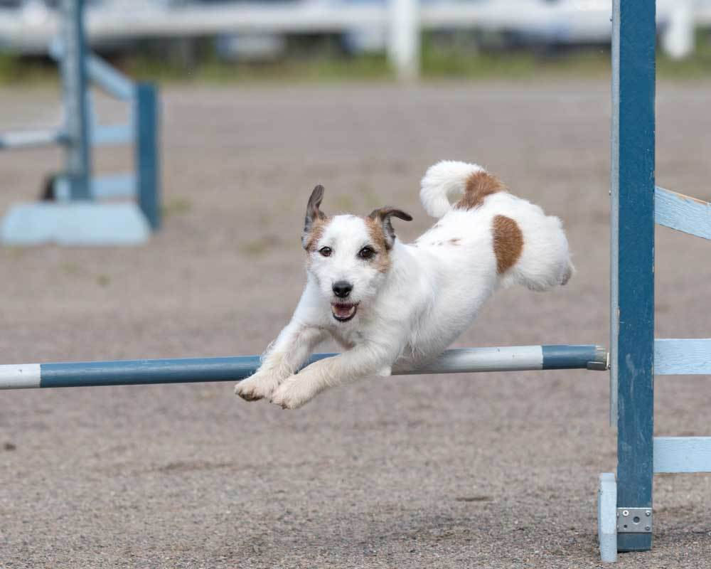 Russell Terrier jumping hurdle in arena