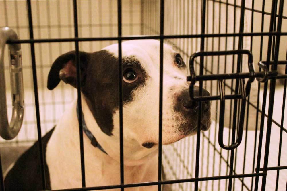 closeup of pitbull in dog crate