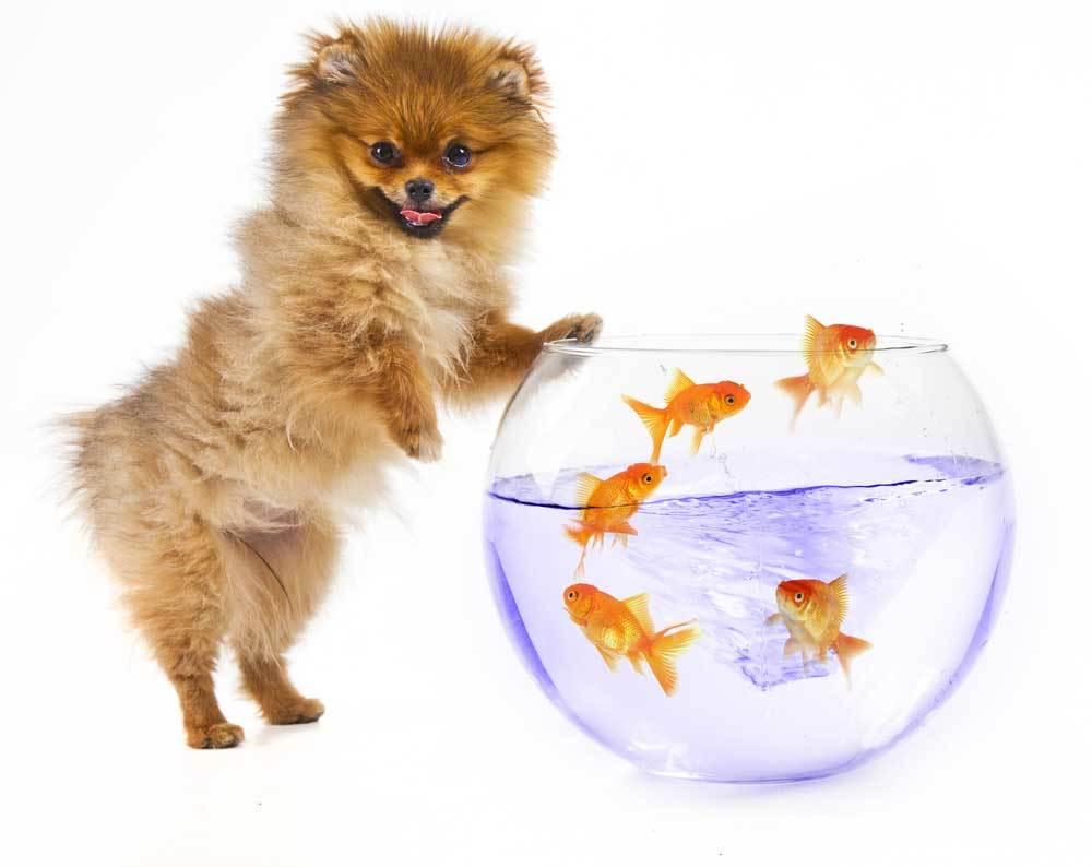 Pomeranian with fishbowl of goldfish on white background