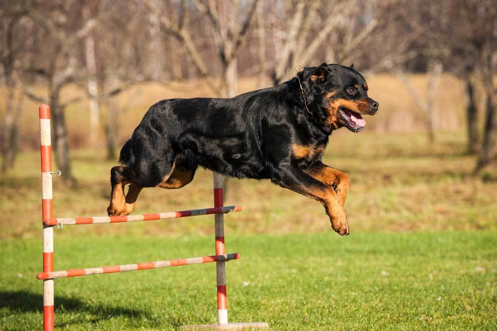 Rottweiler jumping hurdle in grass covered area