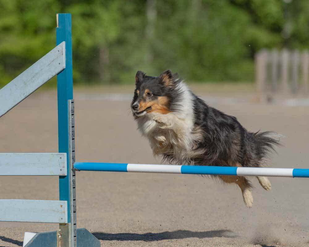 Shetland Sheepdog jumping blue and white hurdle in an arena