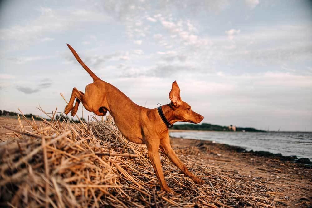 Vizsla jumping a barrier of sticks and debris on shoreline
