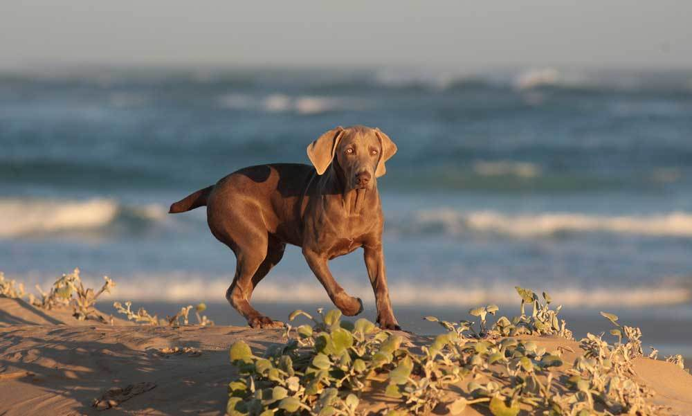Weimaraner running on beach