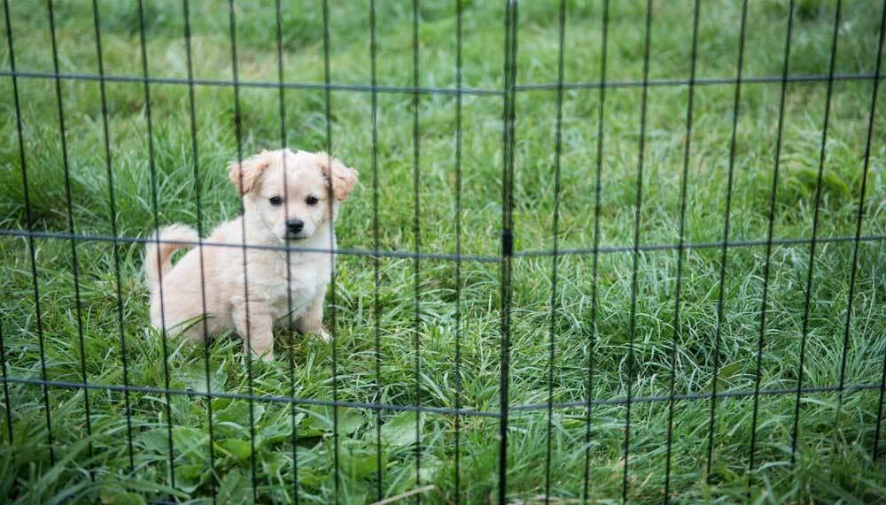 Wide Puppy Pen- puppy in outdoor playpen with grass