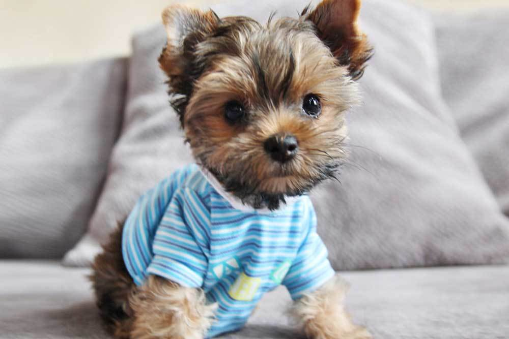 Yorkie wearing a blue and white striped tshirt