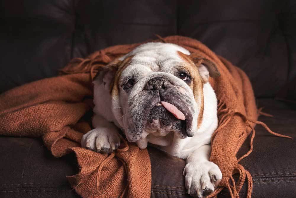 bulldog with tongue sticking out wrapped in blanket on couch
