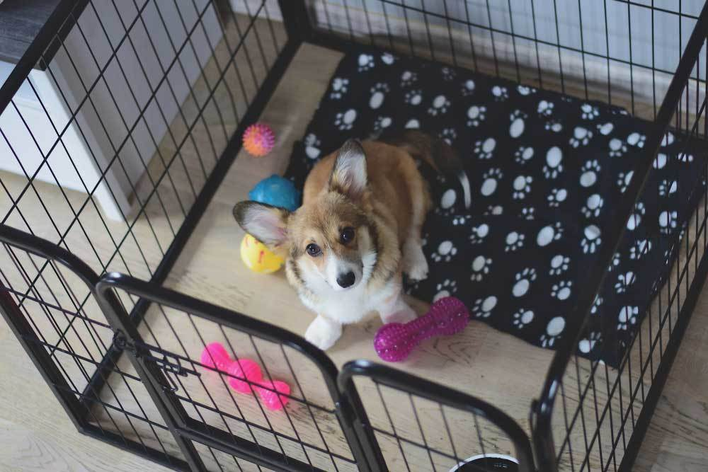 top view of a Corgi in an indoor playpen with bed and toys