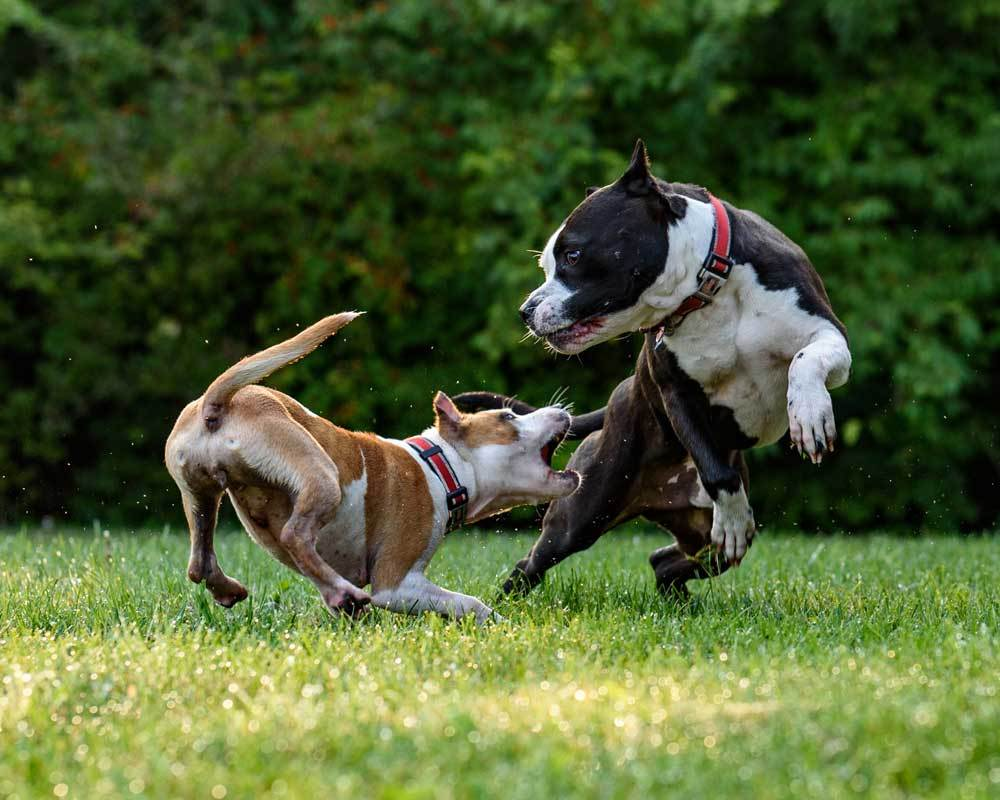 2 dogs showing aggression in grass field