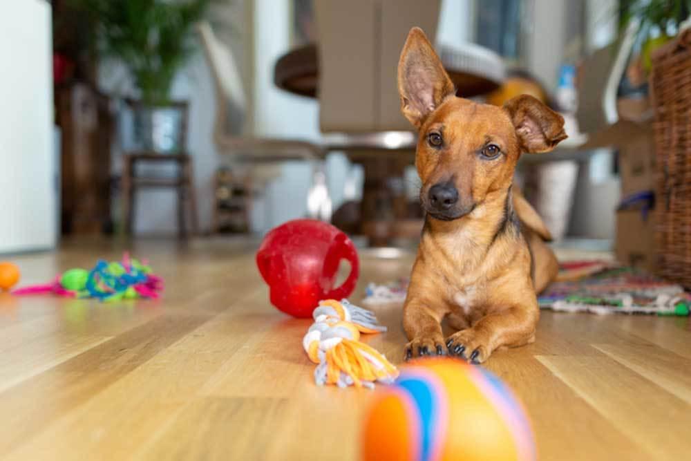 dog laying on hardwood floor surrounded by toys