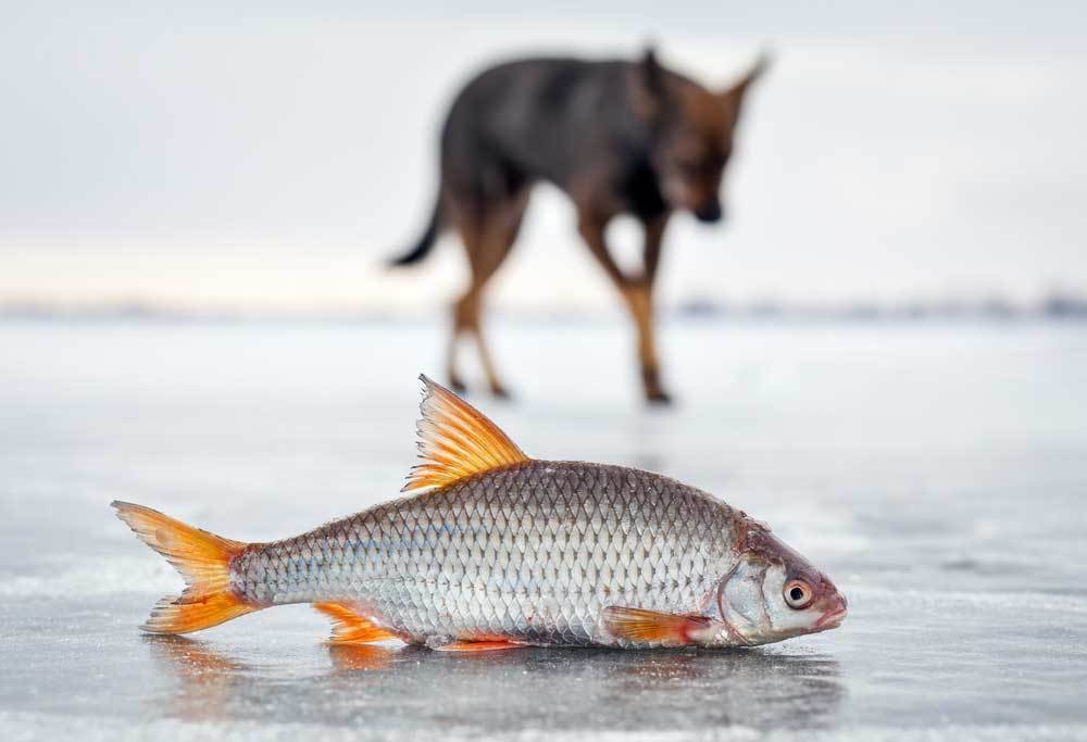Fish on beach with dog in background