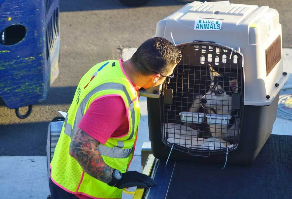 husky in crate with airport worker