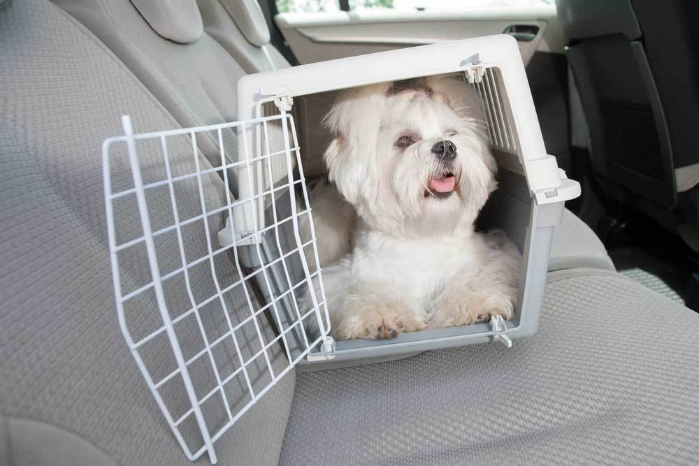 Maltese in dog crate on backseat of car