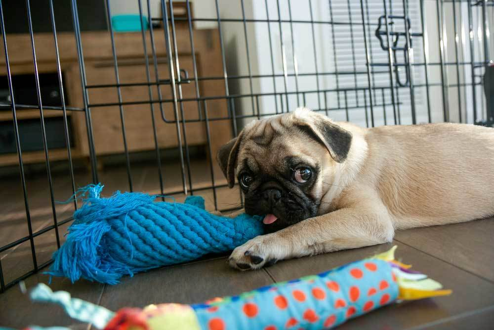 Pug in playpen with toys indoors