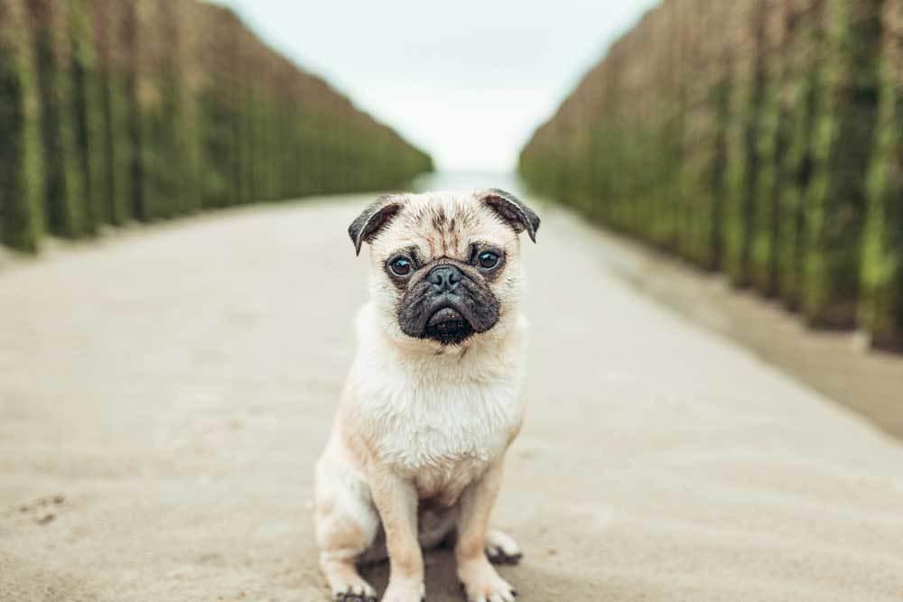 pug puppy sitting on pathway