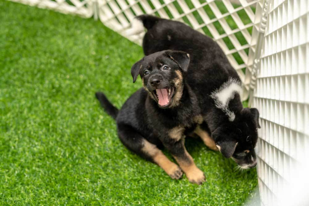 2 puppies in an outdoor playpen on grass