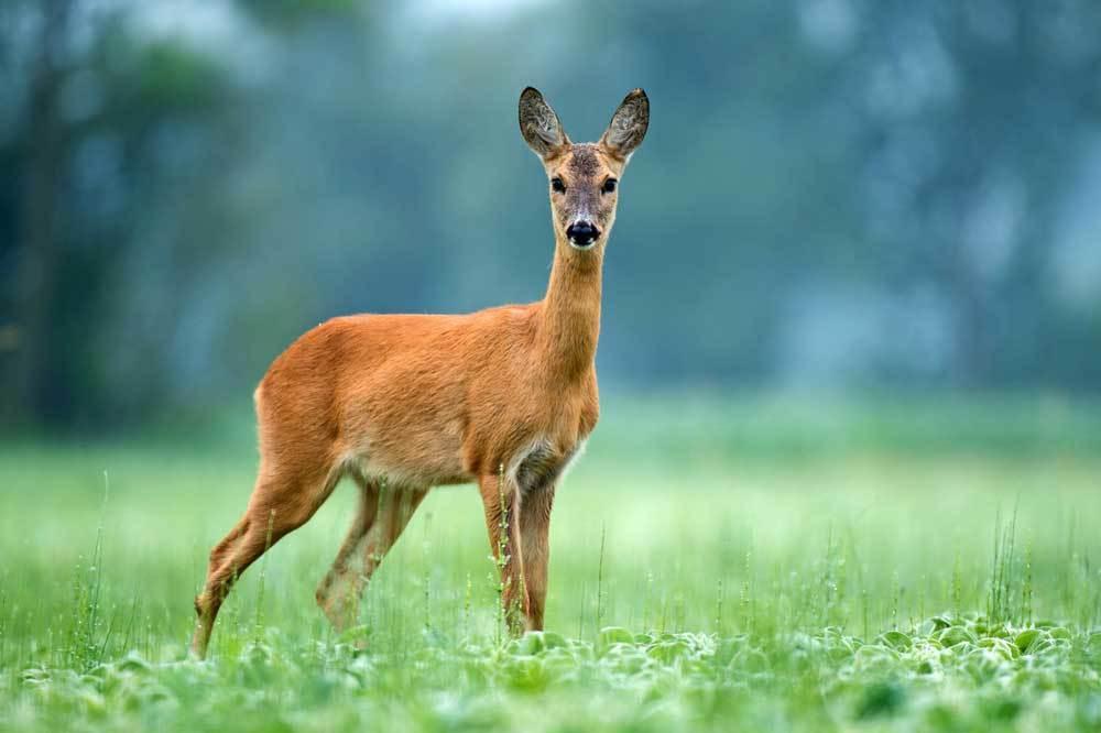 red deer standing in field