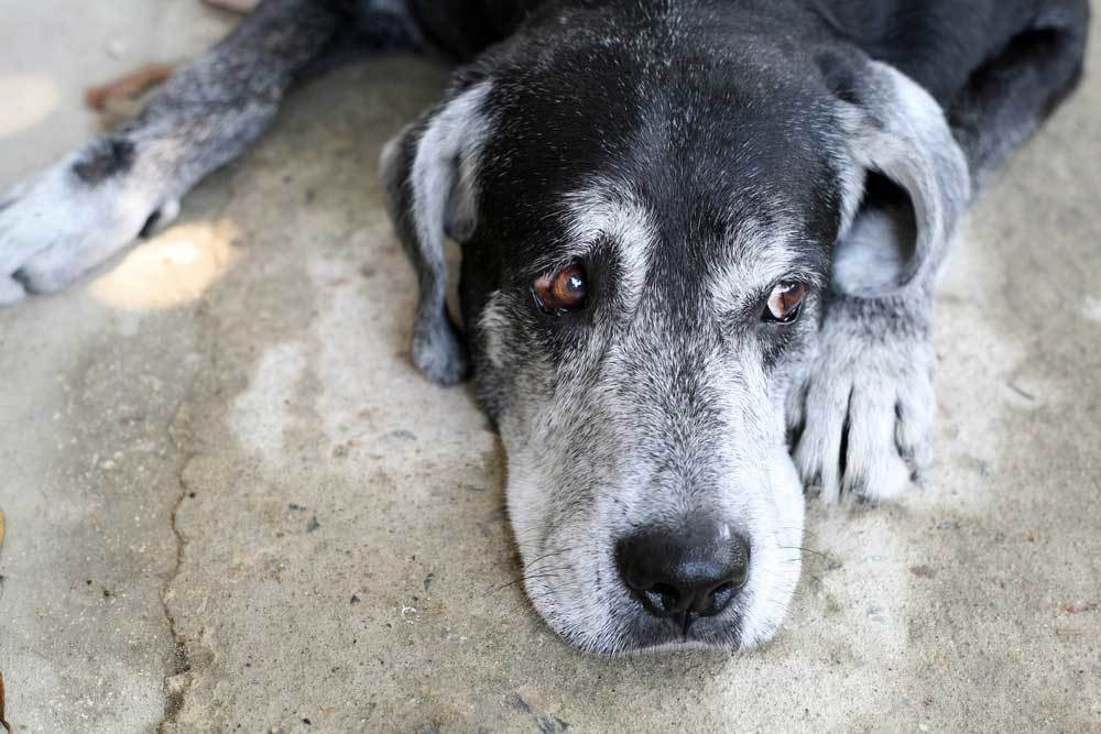 Grey and black senior dog with head laying down on concrete
