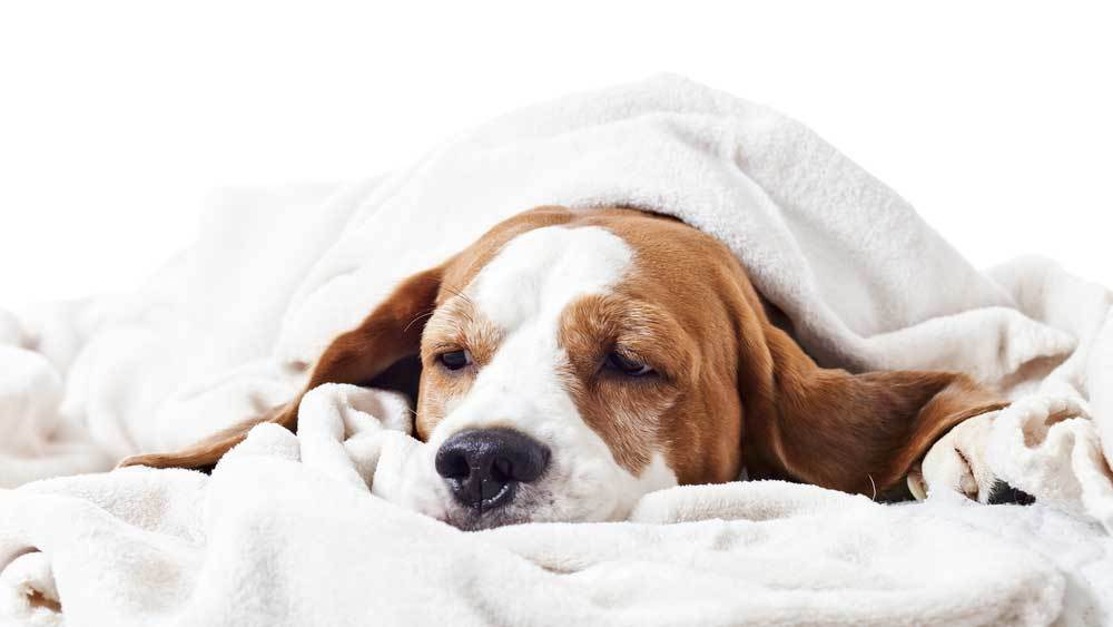Basset hound wrapped in white blanket with head down as if sick