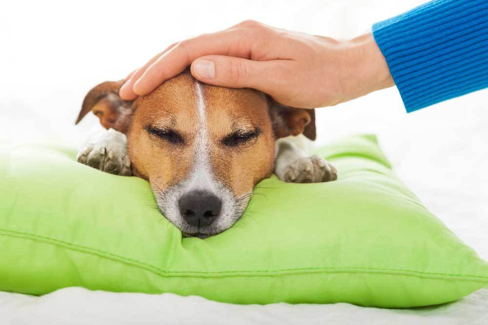 Sleeping Jack Russell Terrier with head resting on green pillow with human hand patting head