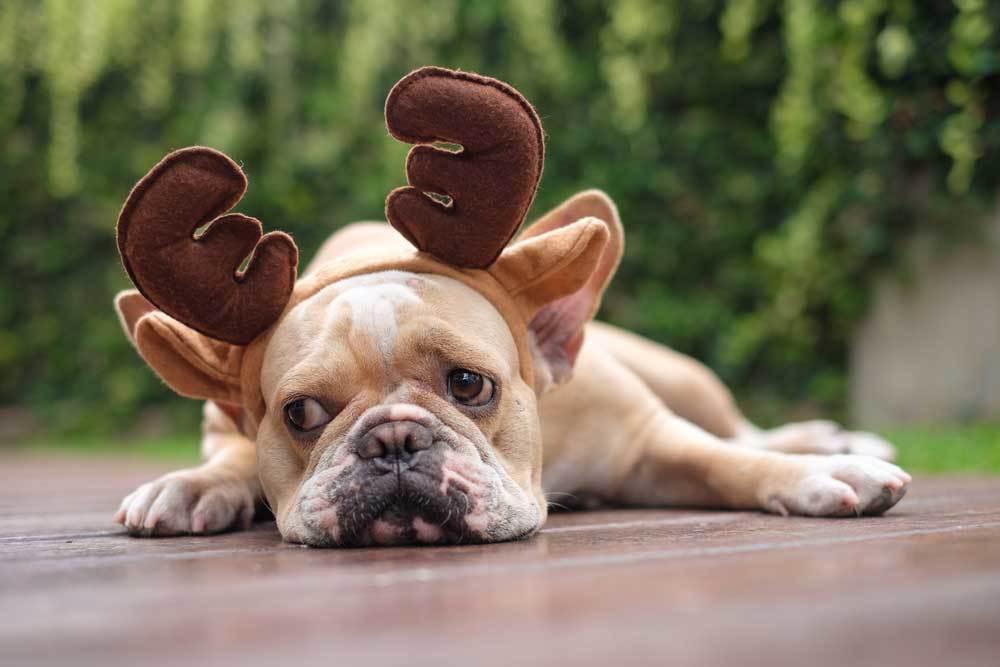 French bulldog wearing fabric deer antlers