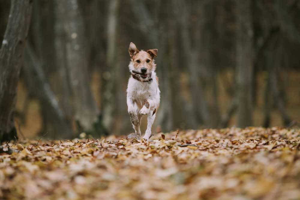 Dog running on leaf covered clearing in woods