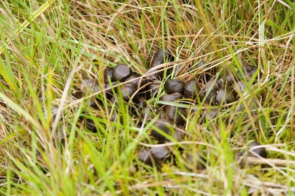 Deer feces in grass