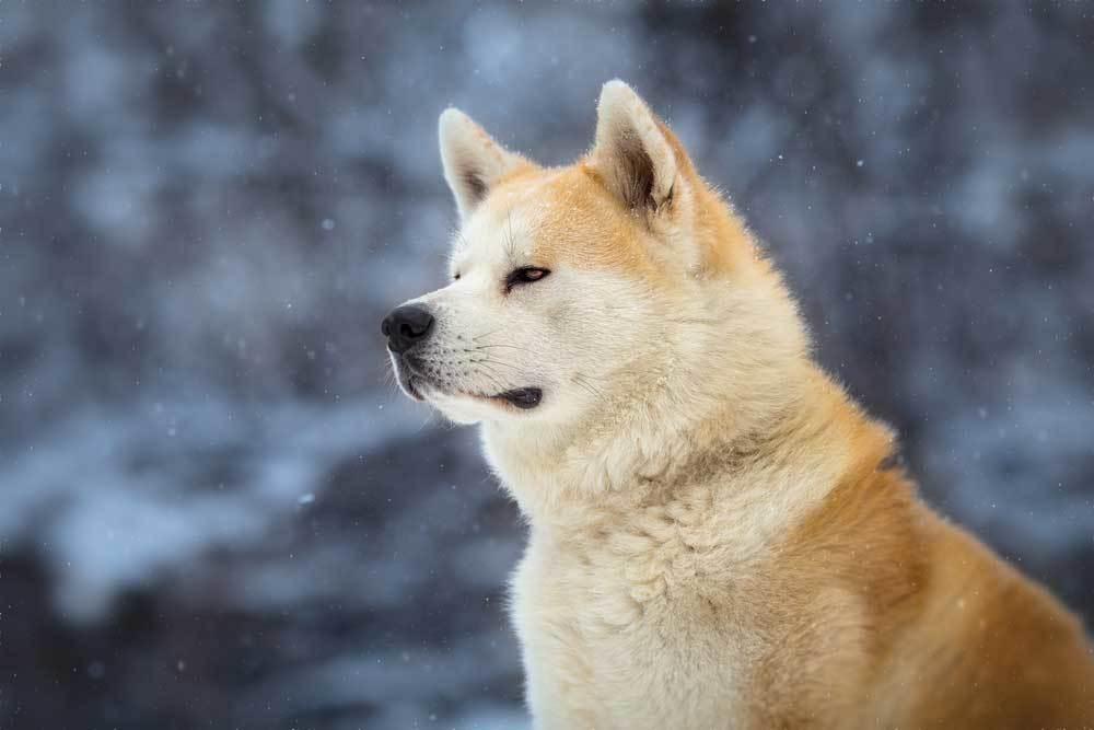 Portrait of Akita Inu in winter