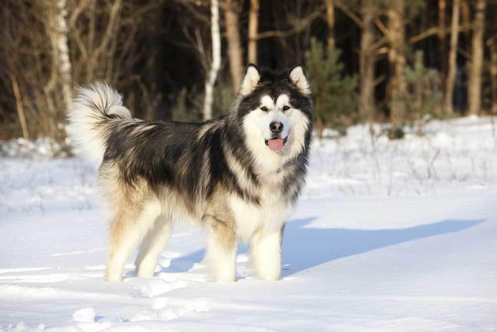 Alaskan Malamute standing in snow covered field