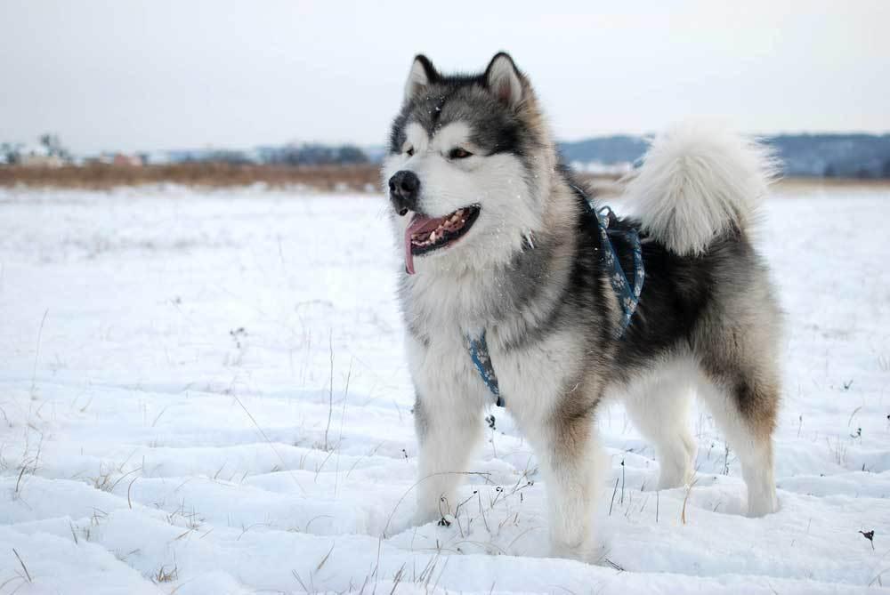 Alaskan Malamute standing in snow