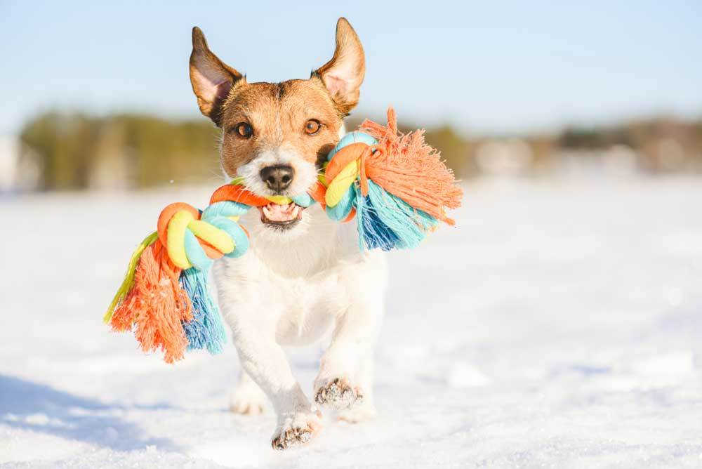 Jack Russell Terrier running on beach with rope toy in mouth