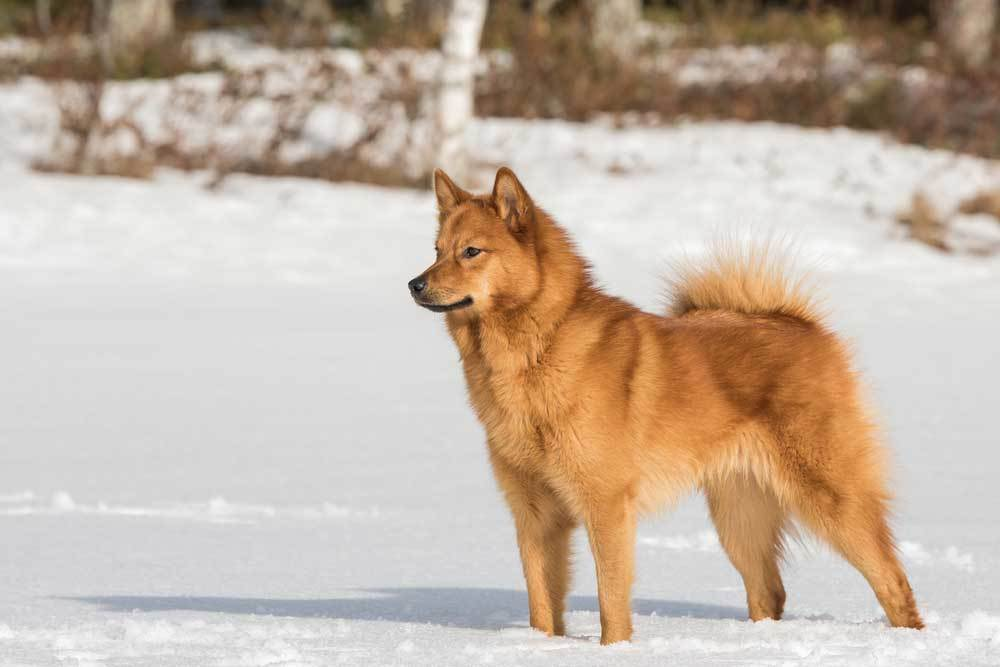 Finnish Spitz standing in snow covered field
