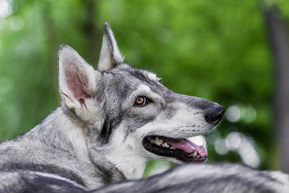 Close up of Northern Inuit with trees in background