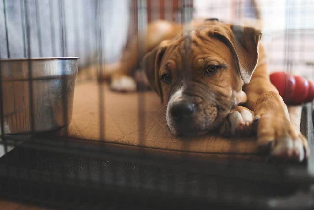 Brown dog in crate