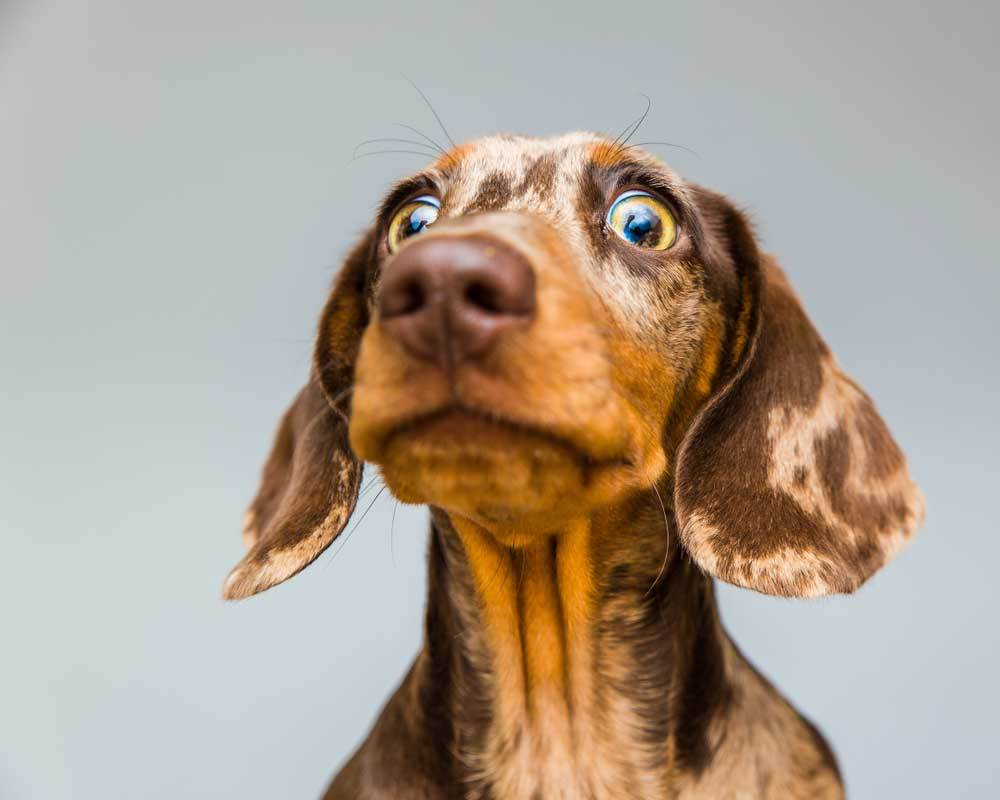 portrait of Dachshund with surprised look on face on grey background