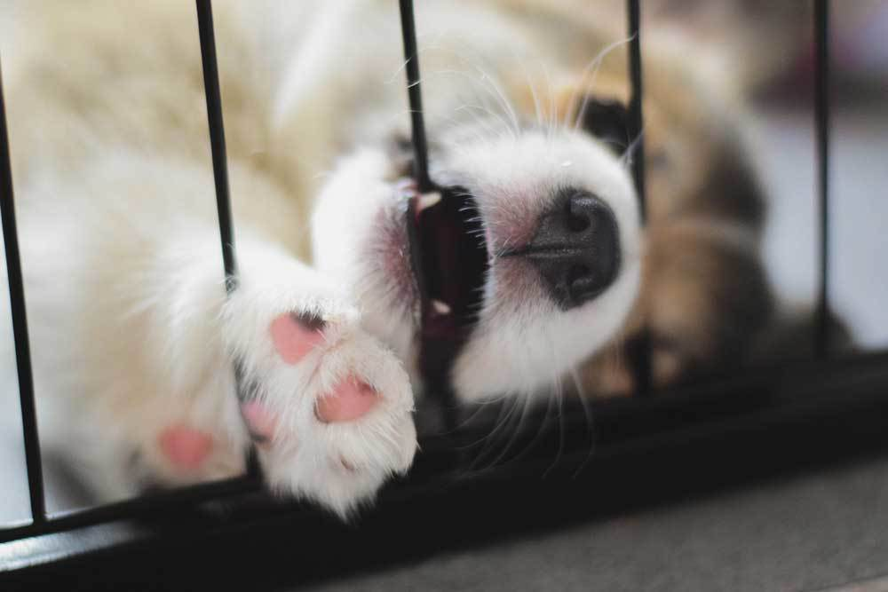 corgi puppy chewing crate bars