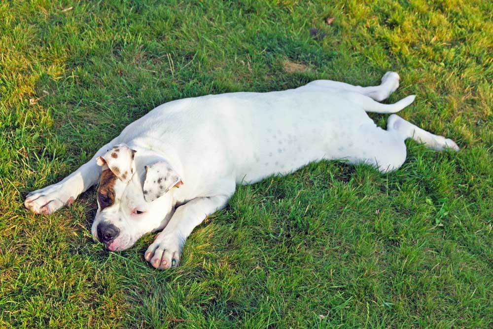 white and brown dog laying in shade of tree
