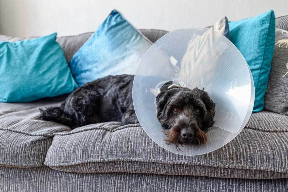 Scruffy black dog with cone laying on couch