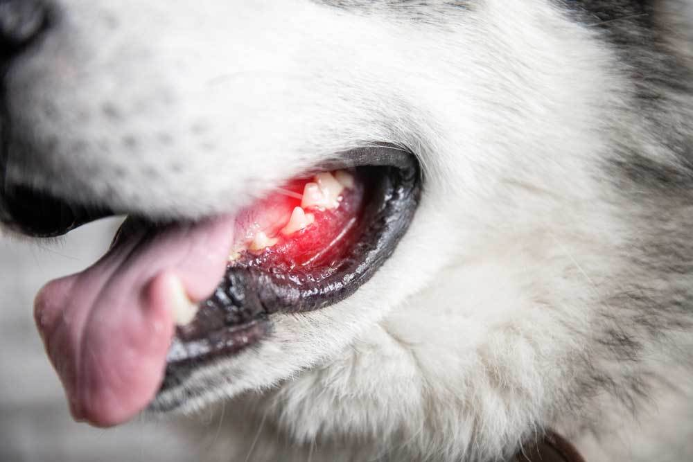 Closeup of husky with inflamed gums