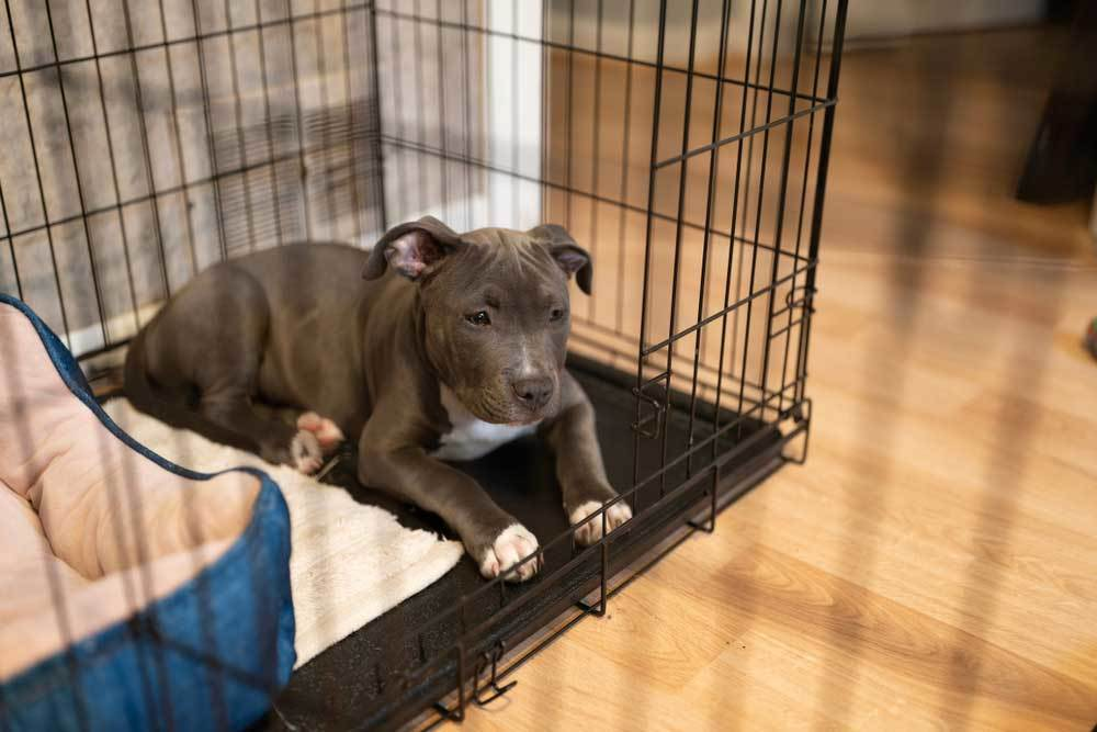 pit bull puppy in cage style crate