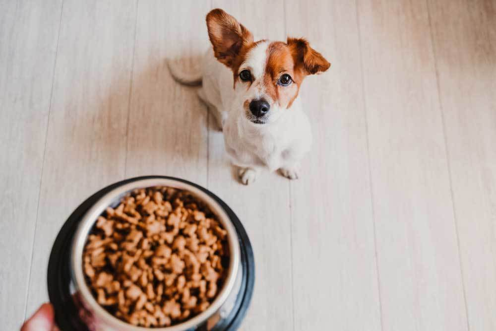 Jack Russell Terrier being handed a dish of dog food