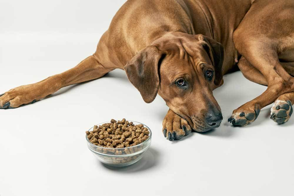 Large brown dog on white background with head turned away from bowl of food.
