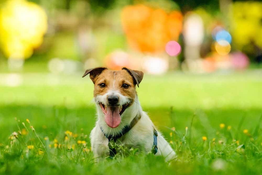 Jack Russell Terrier sitting in tall grass and wild flowers