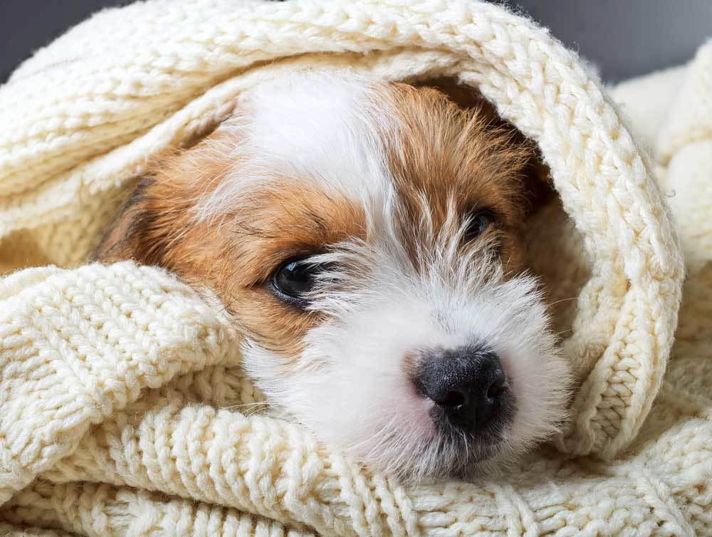 Jack Russell Terrier wrapped in blanket
